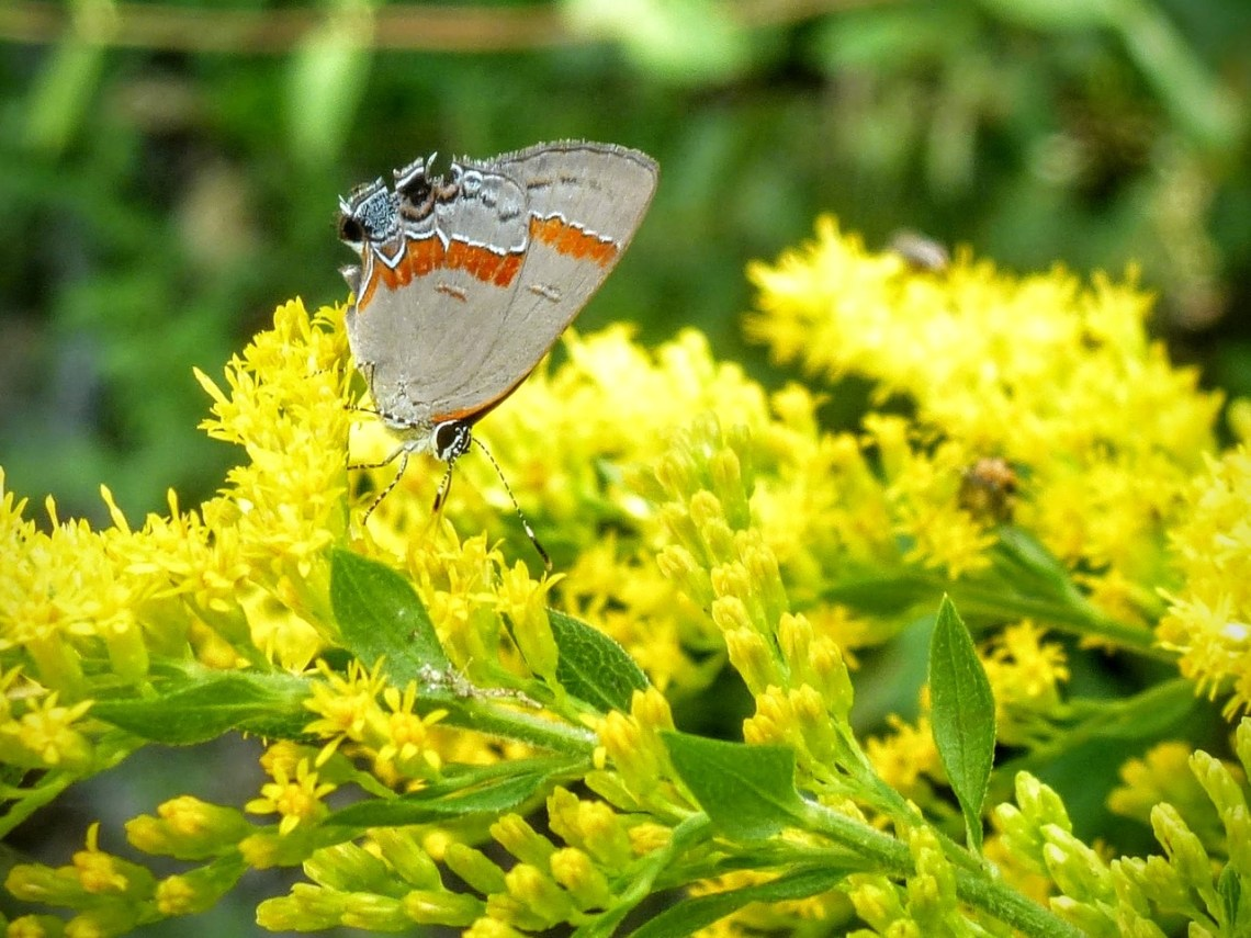 Red-banded Hairstreak butterfly on Goldenrod