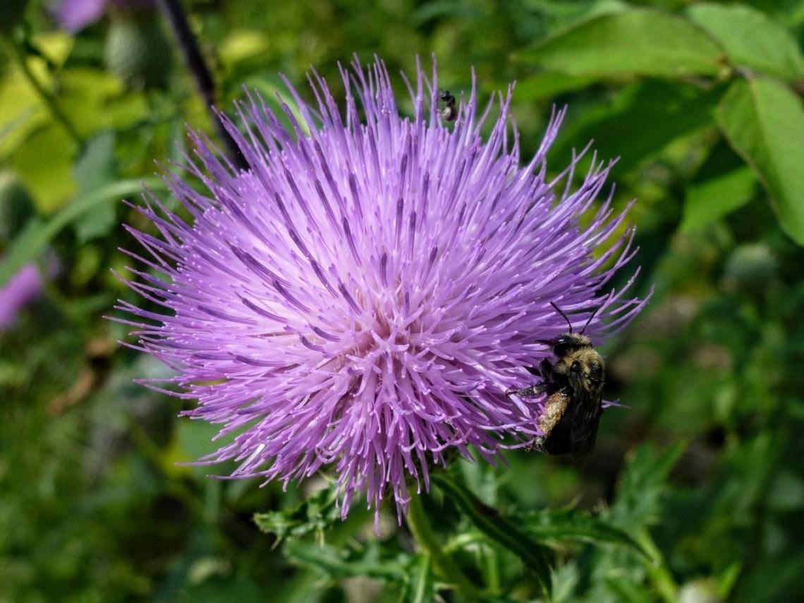 Bee enjoying a Thistle