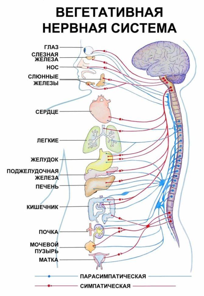Вегетативная нервная система регулирует работу всех внутренних органов