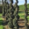 Taxus spiraal