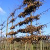 Carpinus pleached