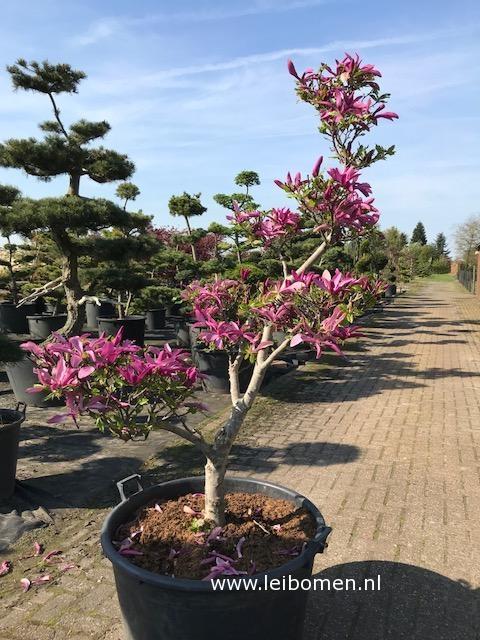 Magnolia tuinbonsai