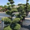 Ilex crenata bonsai niwaki