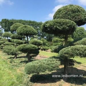 Pinus sylvestris bonsai niwaki