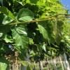 Witte berk leibomen