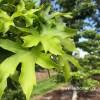 Liquidambar worplesdon blad