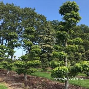 Liquidambar vormboom bonsai
