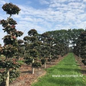 Gartenbonsai niwai