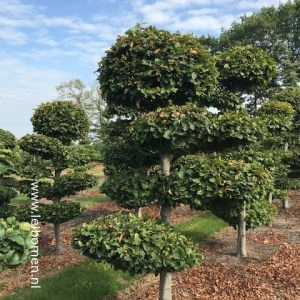 Gardenbonsai