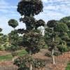 Fagus atrop bonsai