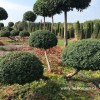 Taxus topiary