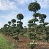 Carpinus tuinbonsai
