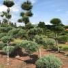 Pinus tuinbonsai