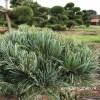 Pinus parviflora tuinbonsai