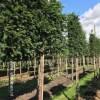 Leiboom groenblijvend