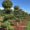 Parrotia persica vormboom
