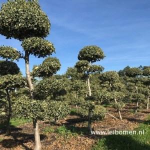Ilex aquifolium bonsai