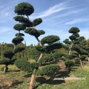 Taxus bonsai gartenbonsai