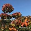 Parrotia bonsai vormboom