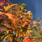Liquidambar amberboom herfst