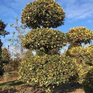 Ilex aquifolium vormsnoei