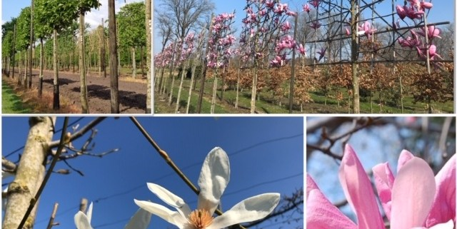 Magnolia leiboom leibomen bloemen
