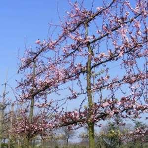 Sierkers leiboom bloemen