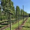 Prunus lusitanica angustifolia leiboom