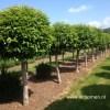 Groenblijvende bolboom