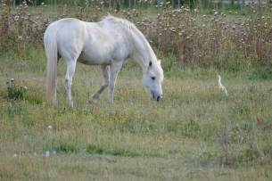 L1060310-klein-camarguepferd