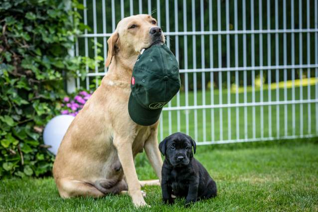 The story of raising a litter of 9 Labrador puppies – Leica