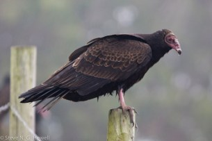 05-NTVU-juv-18-Oct-2011-Abbotts-Lagoon-CA-3-of-54