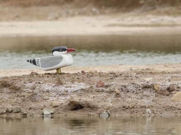 Caspian-Tern-easily-seen-at-IBRCE-copyright-Leo-Heemskerk
