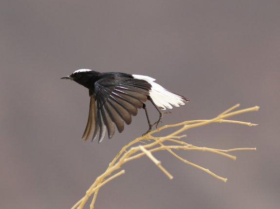 White-crowned-Wheatear-Copyright-Leo-Heemskerk