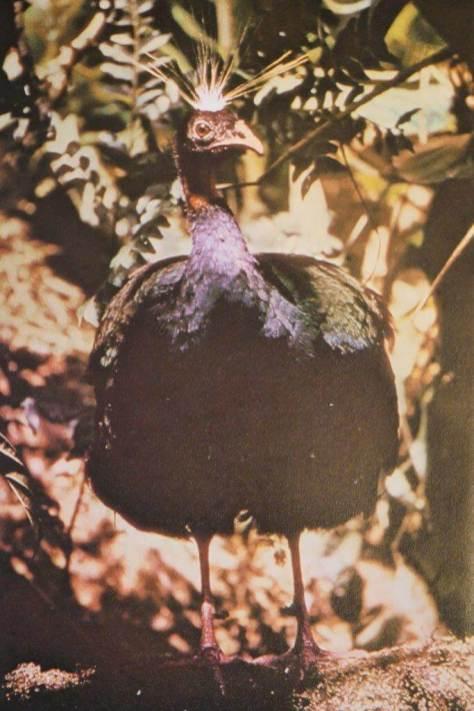 Der Kongopfau. Das Bild war damals eine Sensation