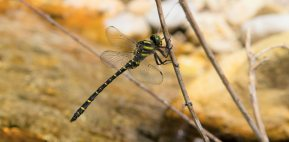 Italian Goldenring (Cordulegaster trinacriae), endemic of central-southern Italy is one of the rarets dragonfly in Europe, this is the first ever photographic evidence of its presence in the Abruzzo region, the northernmost site found so far, digiscoped by using Leica APO Televid and Leica Smartphone adapter (Andrea Corso).