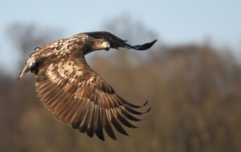 White-tailed-eagle-klein