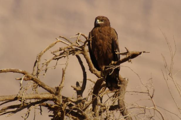 juvenile Steppe Eagle - Leica digiscoped image, Champions of the Flyway Kopie