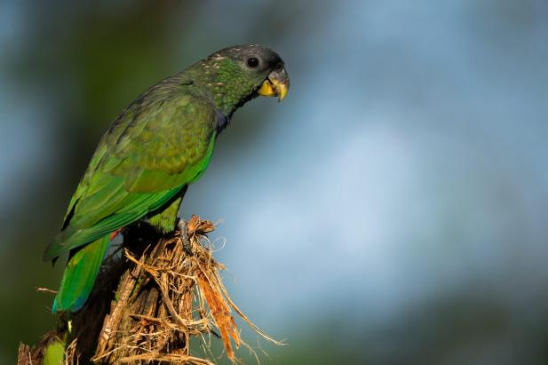 klein_parrot-MPR6389