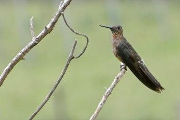 Photo 10 b - Giant Hummingbird