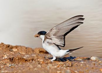 Huiszwaluw in vlucht; Common House Martin (Delichon urbicum) in flight