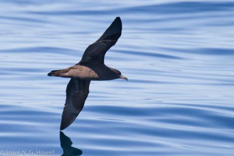 05-dark-Pink-footed-Shearwater-Bodega-Bay-pelagic-CA-115-of-234