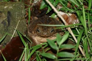 50-Marine-Toad-1025x683