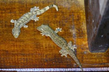 51-Gecko-pair-1025x683