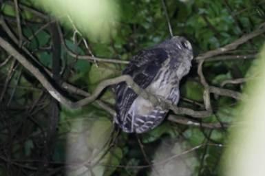 54-Mottled-Owl-1025x683