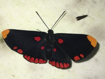 9-Red-bordered-Pixie-1025x769-1