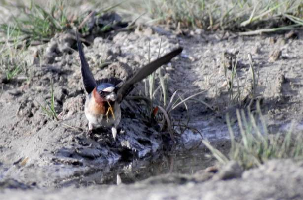 Blog-Cliff-Swallow
