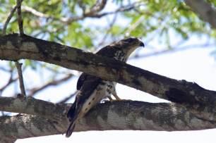 Die-Kucksweihe-ein-sehr-heimlicher-Greifvogel.-Hier-ein-nichtausgef_rbtes-Individuum
