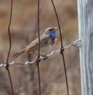 Klein-Bluethroat-fence-2016-1