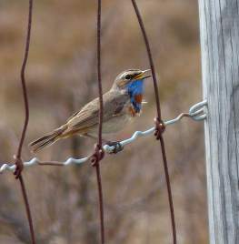 Klein-Bluethroat-fence-2016-1